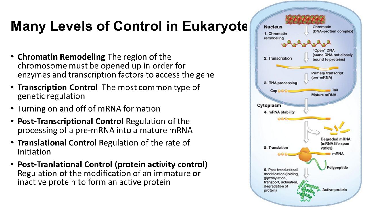 Many Levels of Control in Eukaryotes Chromatin Remodeling The region of the chromosome must be opened up in order for enzymes and transcription factors to access the gene Transcription Control The most common type of genetic regulation Turning on and off of mRNA formation Post-Transcriptional Control Regulation of the processing of a pre-mRNA into a mature mRNA Translational Control Regulation of the rate of Initiation Post-Tranlational Control (protein activity control) Regulation of the modification of an immature or inactive protein to form an active protein