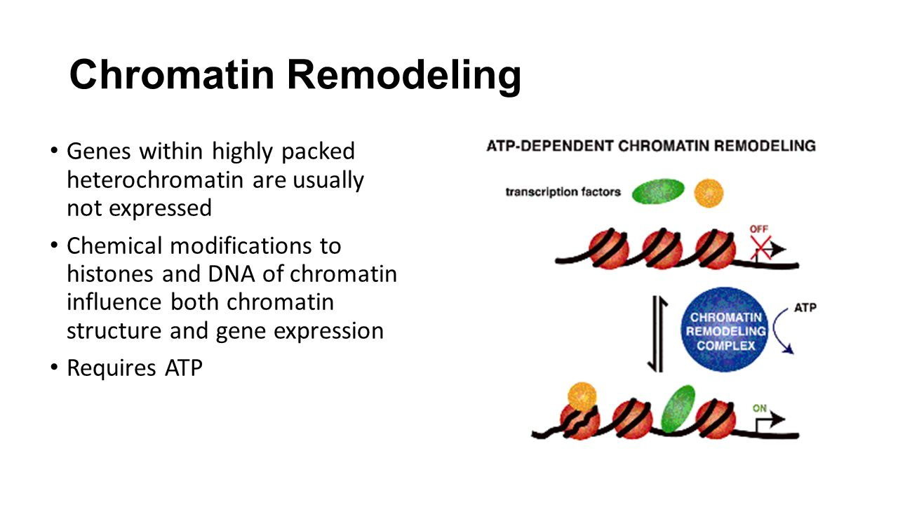 Chromatin Remodeling Genes within highly packed heterochromatin are usually not expressed Chemical modifications to histones and DNA of chromatin influence both chromatin structure and gene expression Requires ATP