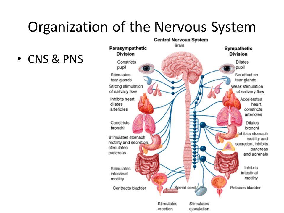 The nervous system organization nervous system brain structure 2 organization of the nervous system cns pns ccuart Gallery