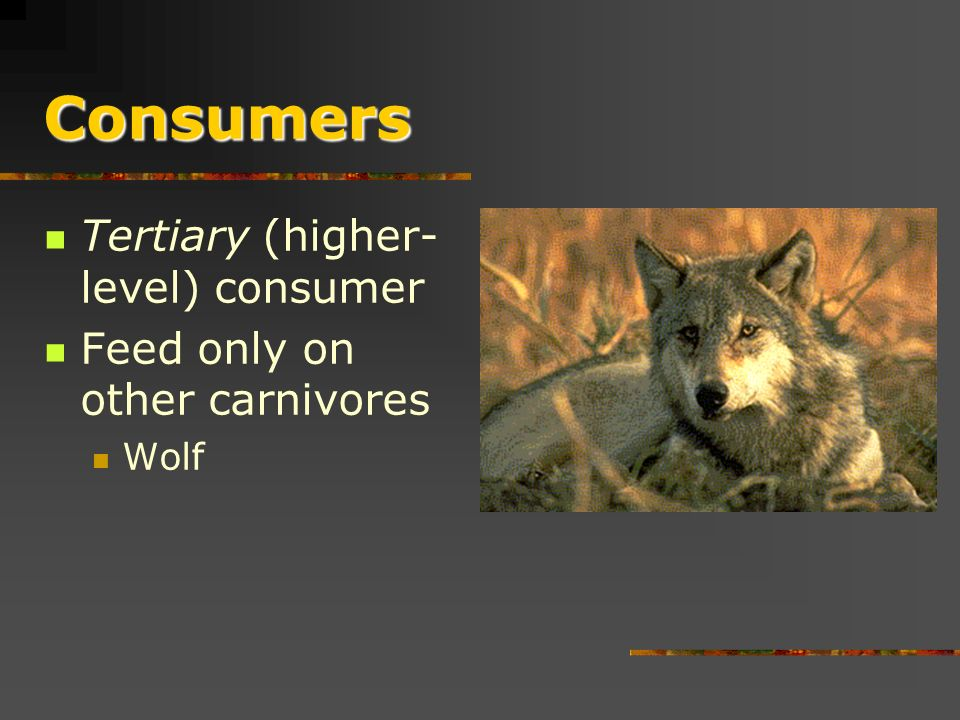 Consumers Carnivores (meat eater) or secondary consumers Feed only on primary consumer Lion, Tiger
