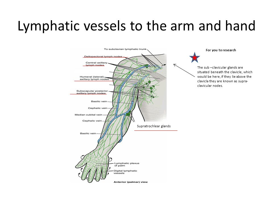 Anatomy of the hand and arm nail growth nails are protective 26 lymphatic ccuart Gallery