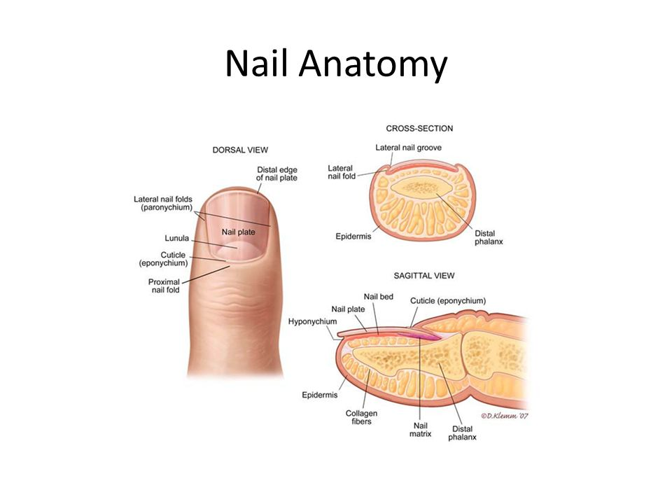 Anatomy of the hand and arm. Nail growth Nails are protective ...