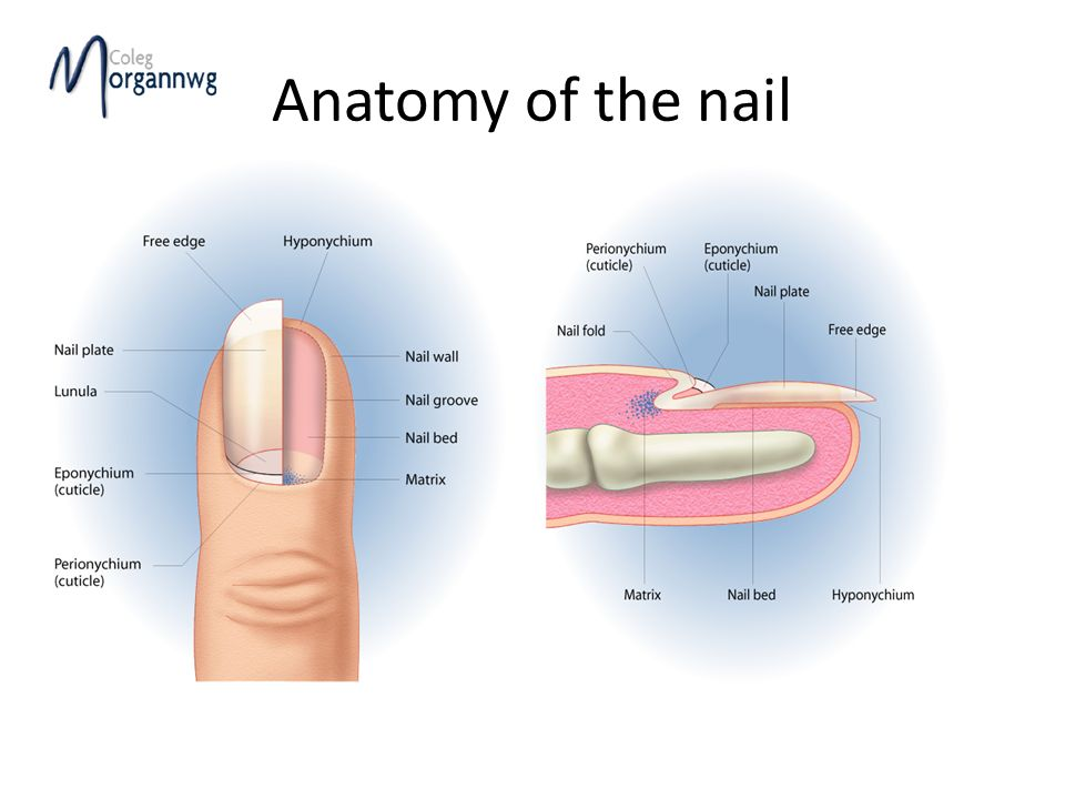 Anatomy Of The Hand And Arm Nail Growth Nails Are Protective