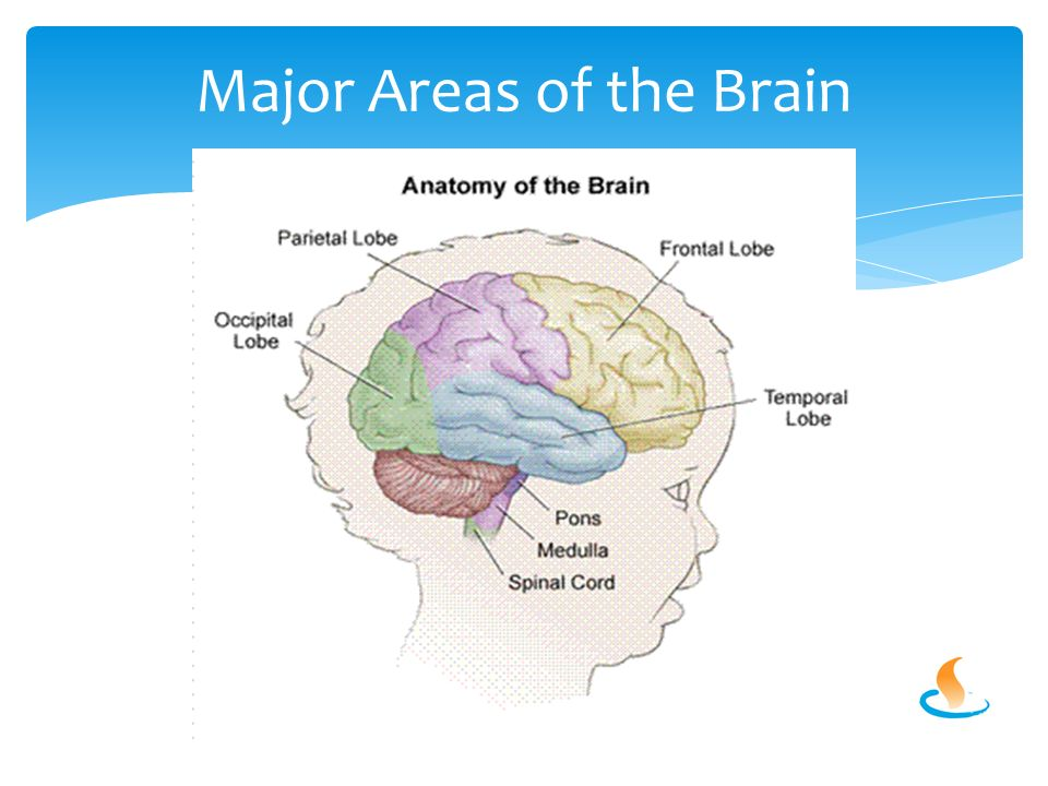 Major Areas of the Brain
