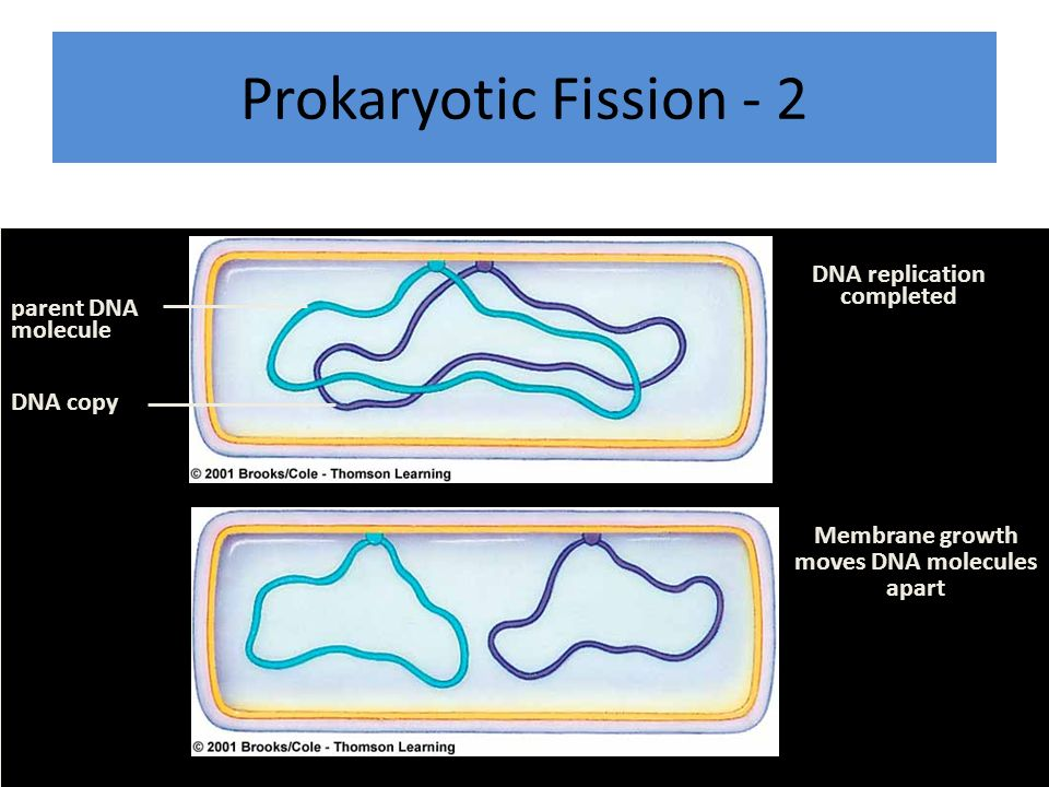 Prokaryotic Fission - 2 parent DNA molecule DNA copy DNA replication completed Membrane growth moves DNA molecules apart