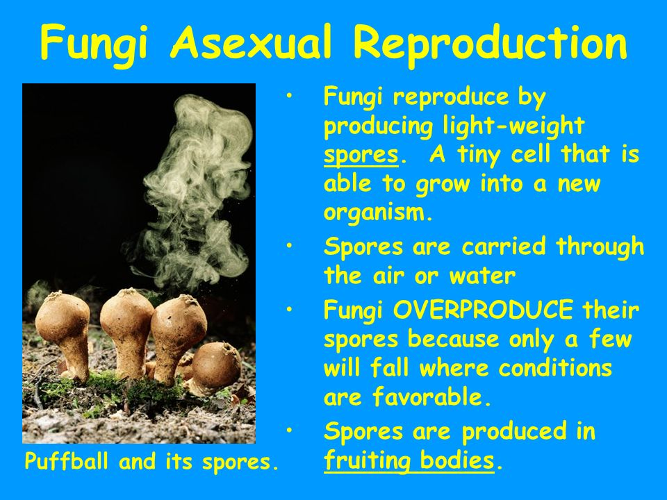 What fungi only reproduce asexually
