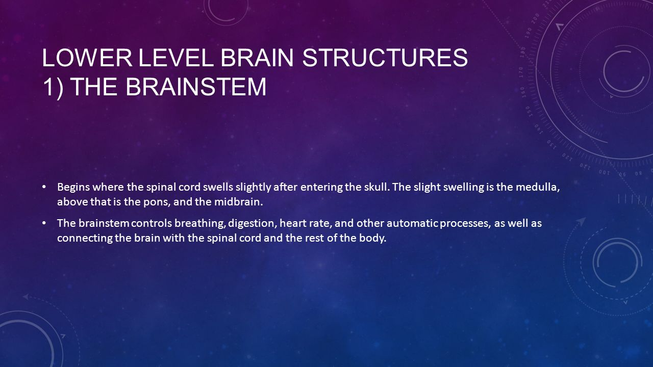 LOWER LEVEL BRAIN STRUCTURES 1) THE BRAINSTEM Begins where the spinal cord swells slightly after entering the skull.