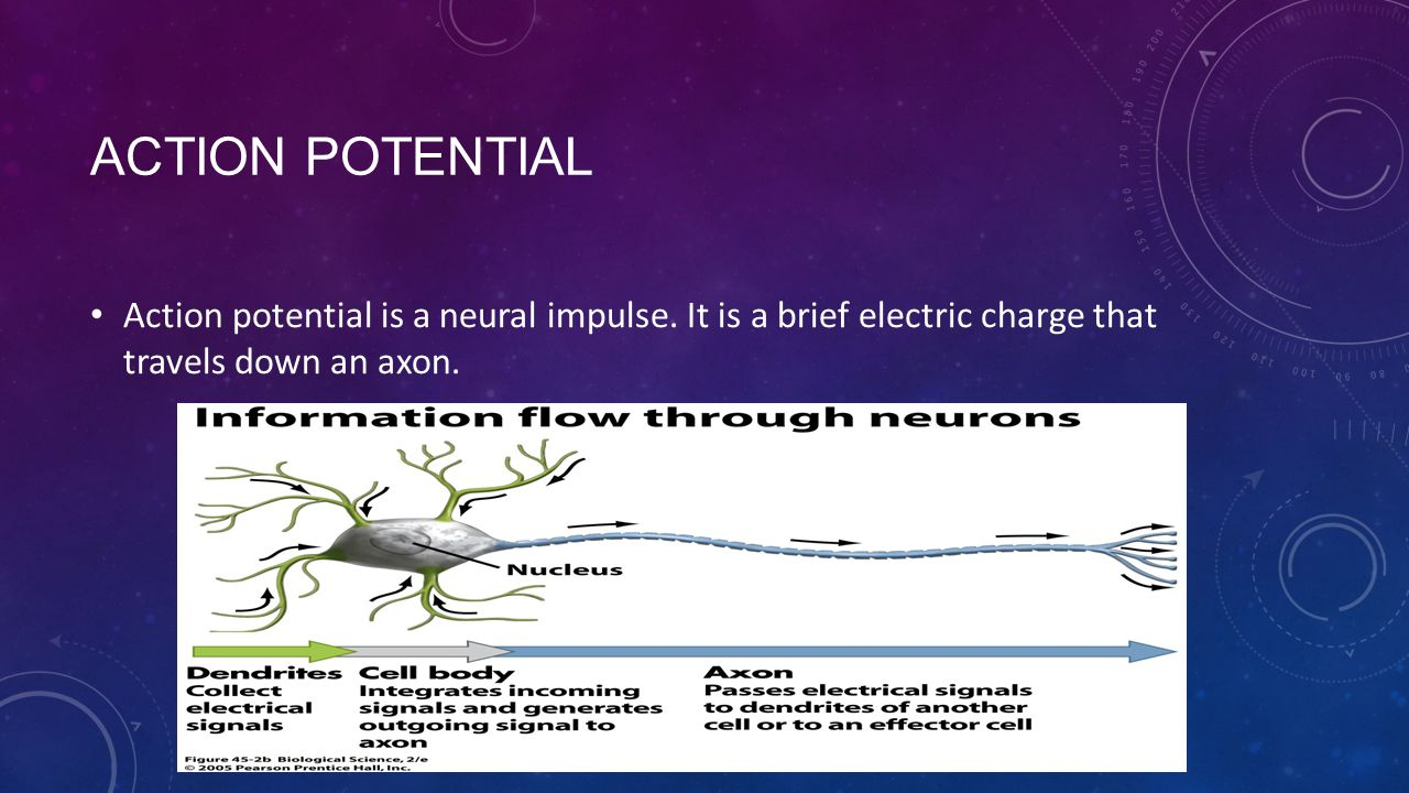 ACTION POTENTIAL Action potential is a neural impulse.