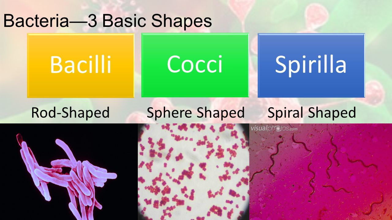 Bacteria—3 Basic Shapes Bacilli Cocci Spirilla Rod-ShapedSphere ShapedSpiral Shaped