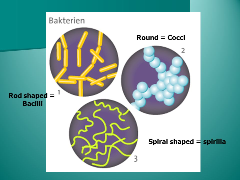 Rod shaped = Bacilli Round = Cocci Spiral shaped = spirilla