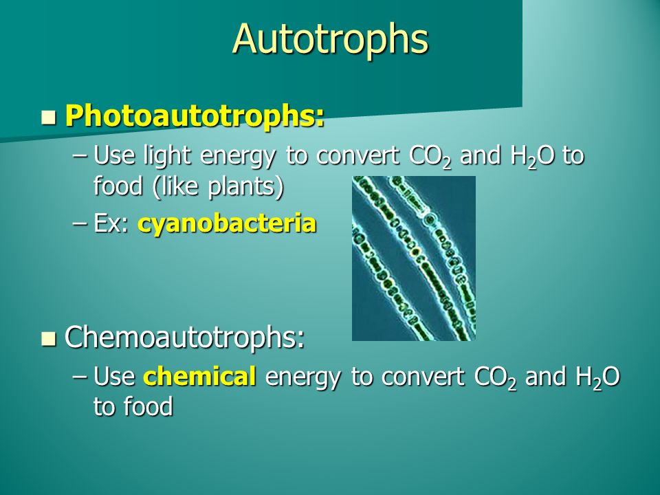 Autotrophs Photoautotrophs: Photoautotrophs: –Use light energy to convert CO 2 and H 2 O to food (like plants) –Ex: cyanobacteria Chemoautotrophs: Chemoautotrophs: –Use chemical energy to convert CO 2 and H 2 O to food