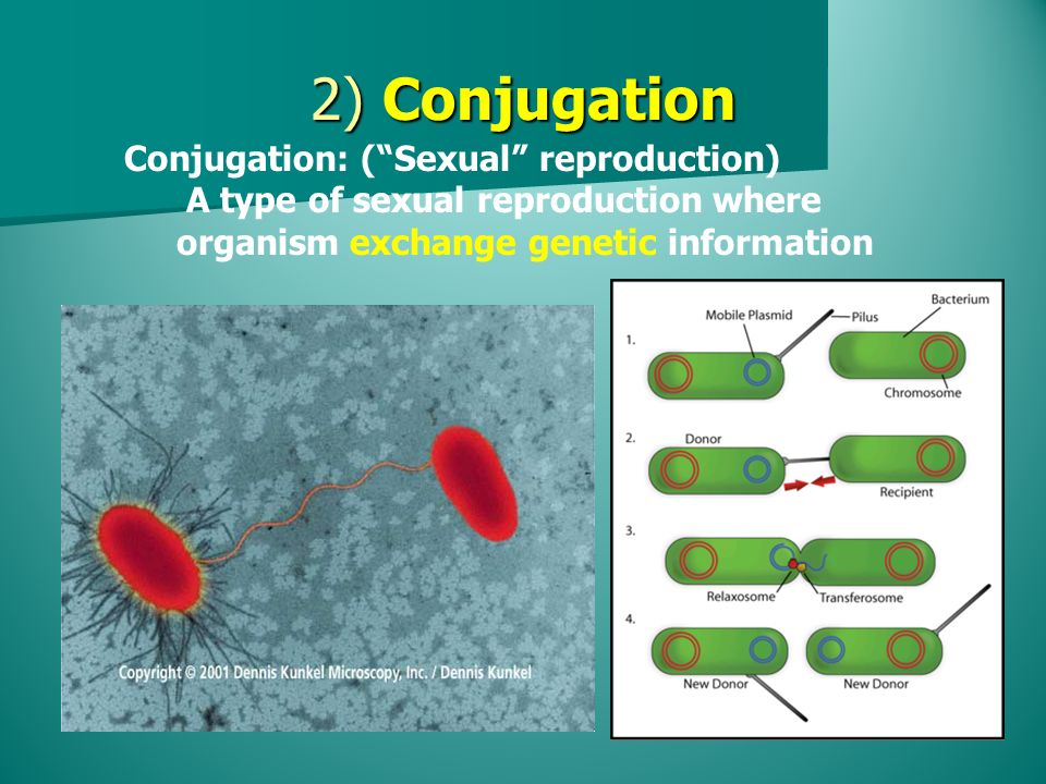 2) Conjugation Conjugation: ( Sexual reproduction) A type of sexual reproduction where organism exchange genetic information