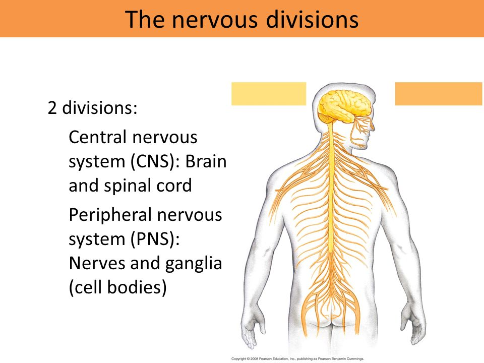The nervous divisions 2 divisions: – Central nervous system (CNS): Brain and spinal cord – Peripheral nervous system (PNS): Nerves and ganglia (cell bodies)