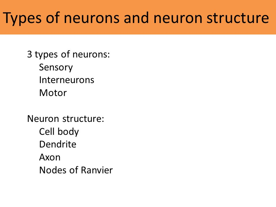 Types of neurons and neuron structure 3 types of neurons: Sensory Interneurons Motor Neuron structure: Cell body Dendrite Axon Nodes of Ranvier