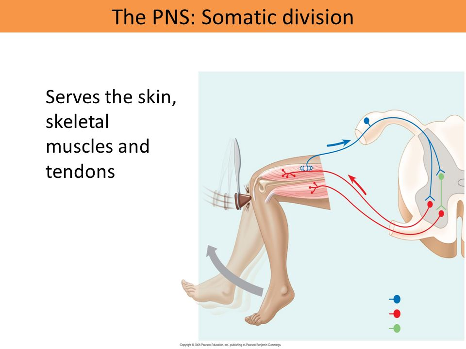 The PNS: Somatic division Serves the skin, skeletal muscles and tendons