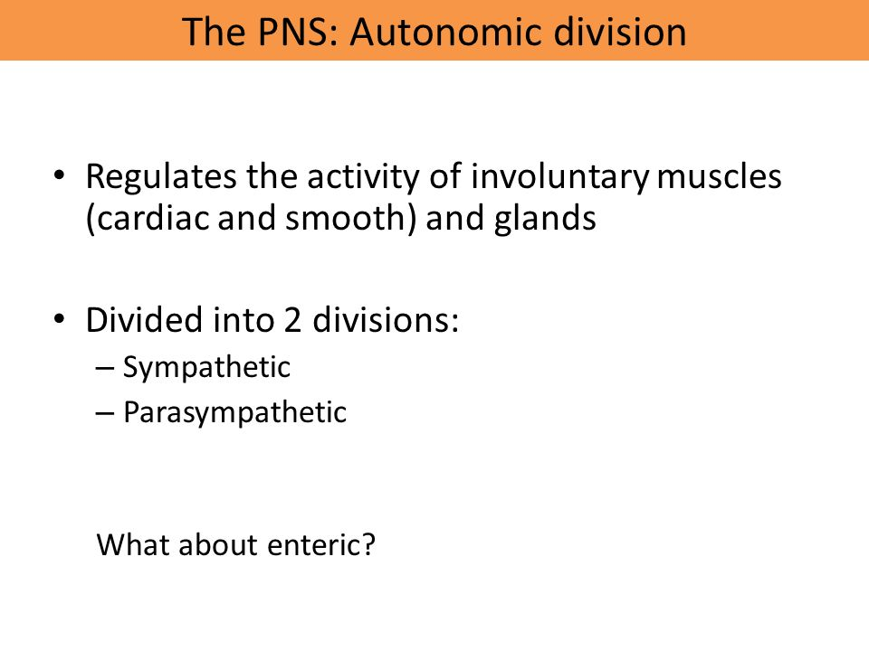 The PNS: Autonomic division Regulates the activity of involuntary muscles (cardiac and smooth) and glands Divided into 2 divisions: – Sympathetic – Parasympathetic What about enteric