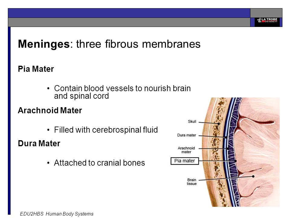 EDU2HBS Human Body Systems 12 Meninges: three fibrous membranes Pia Mater Contain blood vessels to nourish brain and spinal cord Arachnoid Mater Filled with cerebrospinal fluid Dura Mater Attached to cranial bones