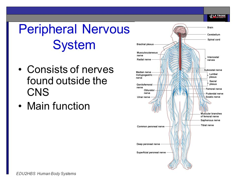 EDU2HBS Human Body Systems 21 Peripheral Nervous System Consists of nerves found outside the CNS Main function