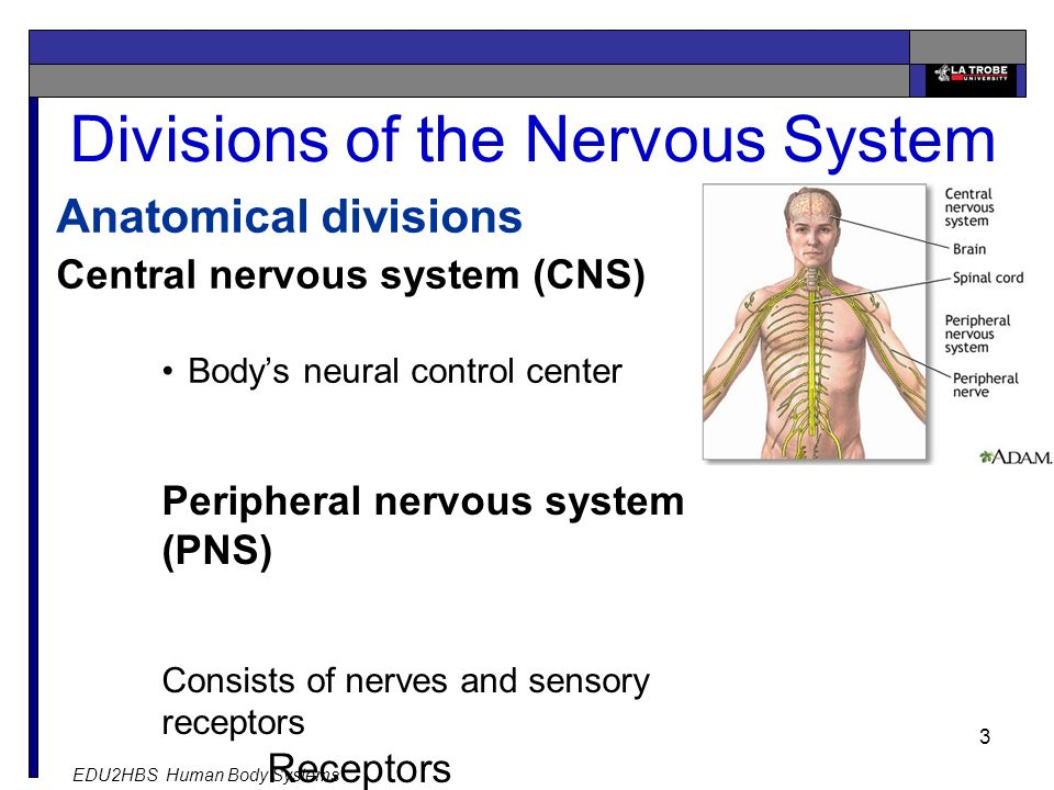 EDU2HBS Human Body Systems 3 Divisions of the Nervous System Anatomical divisions Central nervous system (CNS) Body's neural control center Peripheral nervous system (PNS) Consists of nerves and sensory receptors Receptors Effectors