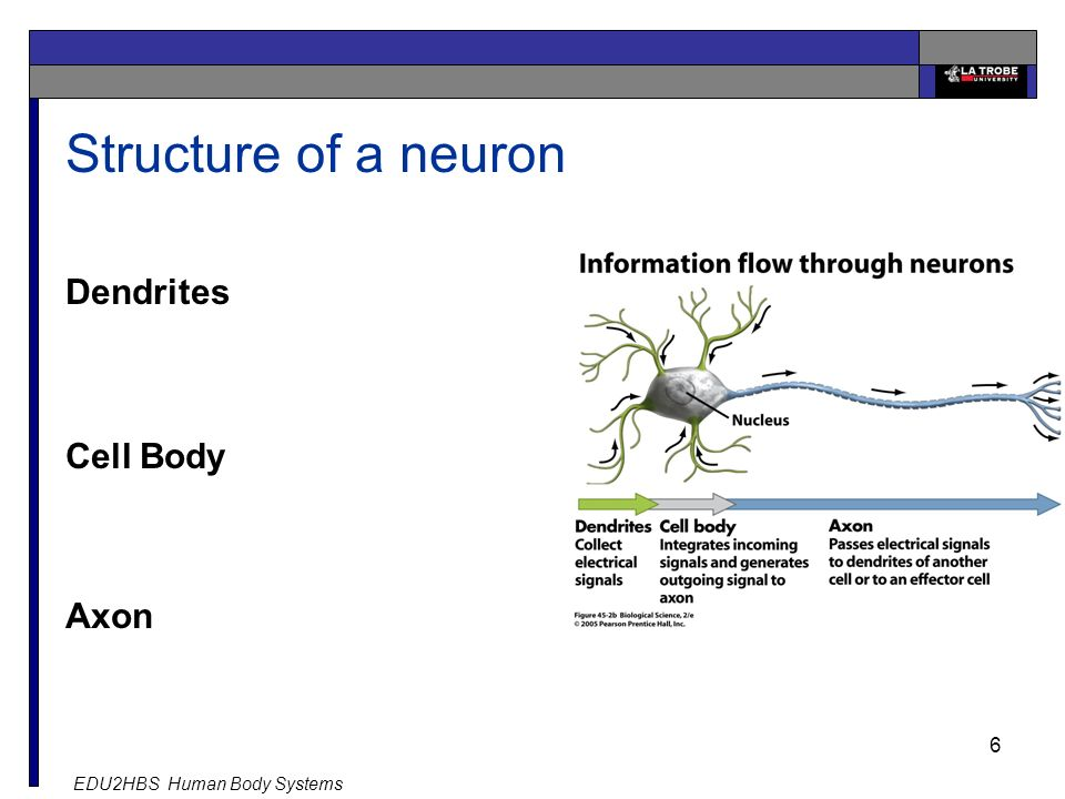 EDU2HBS Human Body Systems 6 Structure of a neuron Dendrites Cell Body Axon