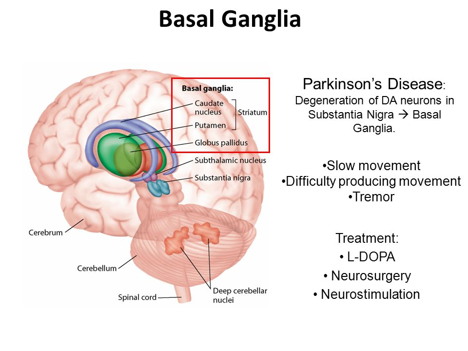 Basal Ganglia Part Of The Motor System Control Of Voluntary