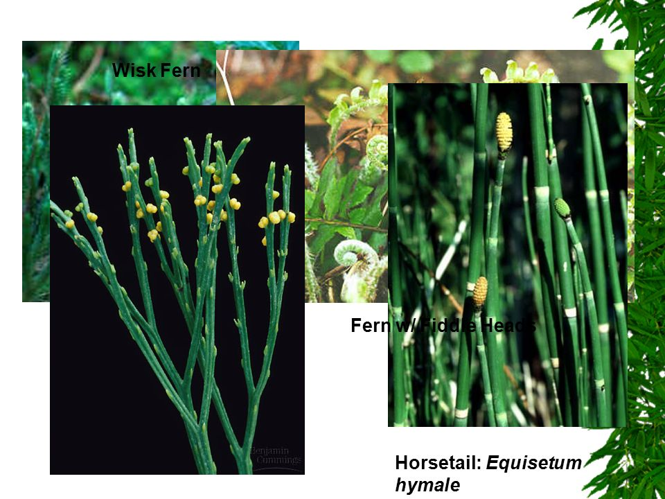 Club Moss Fern w/ Fiddle Heads Horsetail: Equisetum hymale Wisk Fern