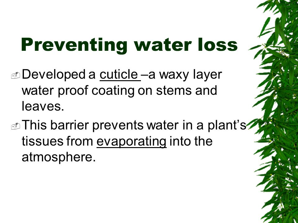 Preventing water loss  Developed a cuticle –a waxy layer water proof coating on stems and leaves.