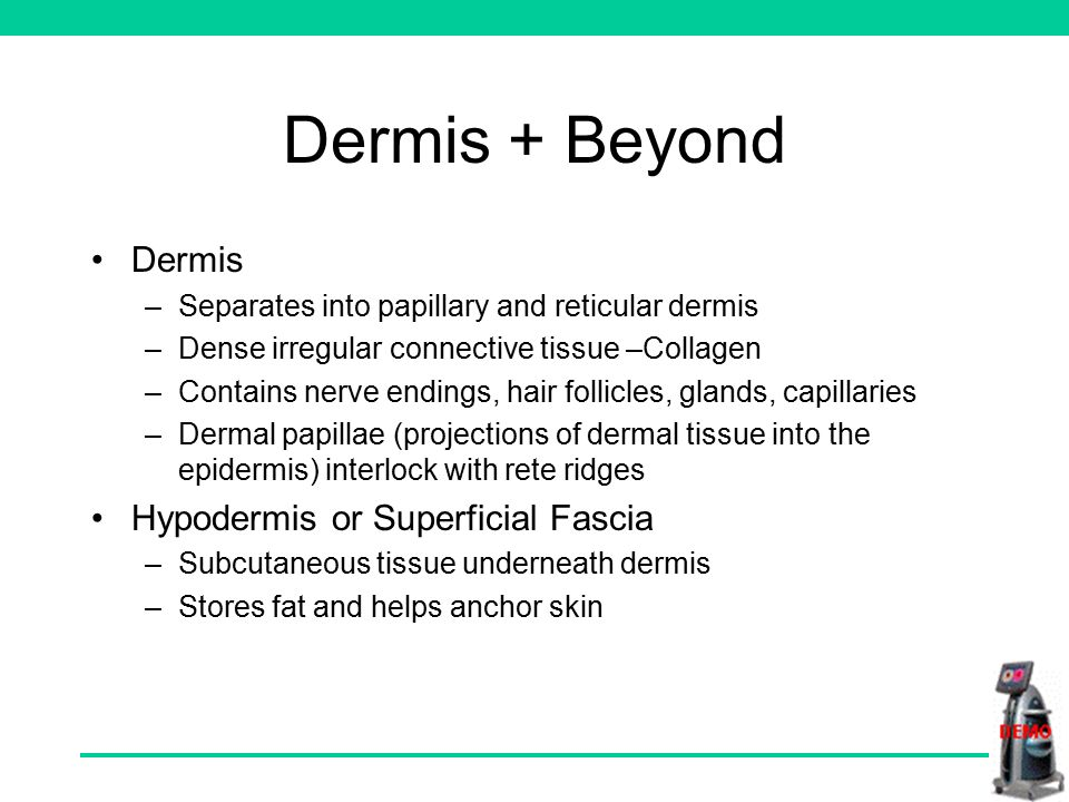 Dermis + Beyond Dermis –Separates into papillary and reticular dermis –Dense irregular connective tissue –Collagen –Contains nerve endings, hair follicles, glands, capillaries –Dermal papillae (projections of dermal tissue into the epidermis) interlock with rete ridges Hypodermis or Superficial Fascia –Subcutaneous tissue underneath dermis –Stores fat and helps anchor skin