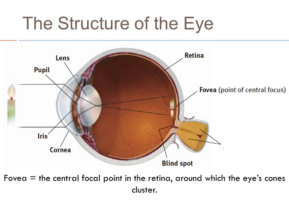 Vision Use The Following Ppt To Take Notes On The Structure Of The