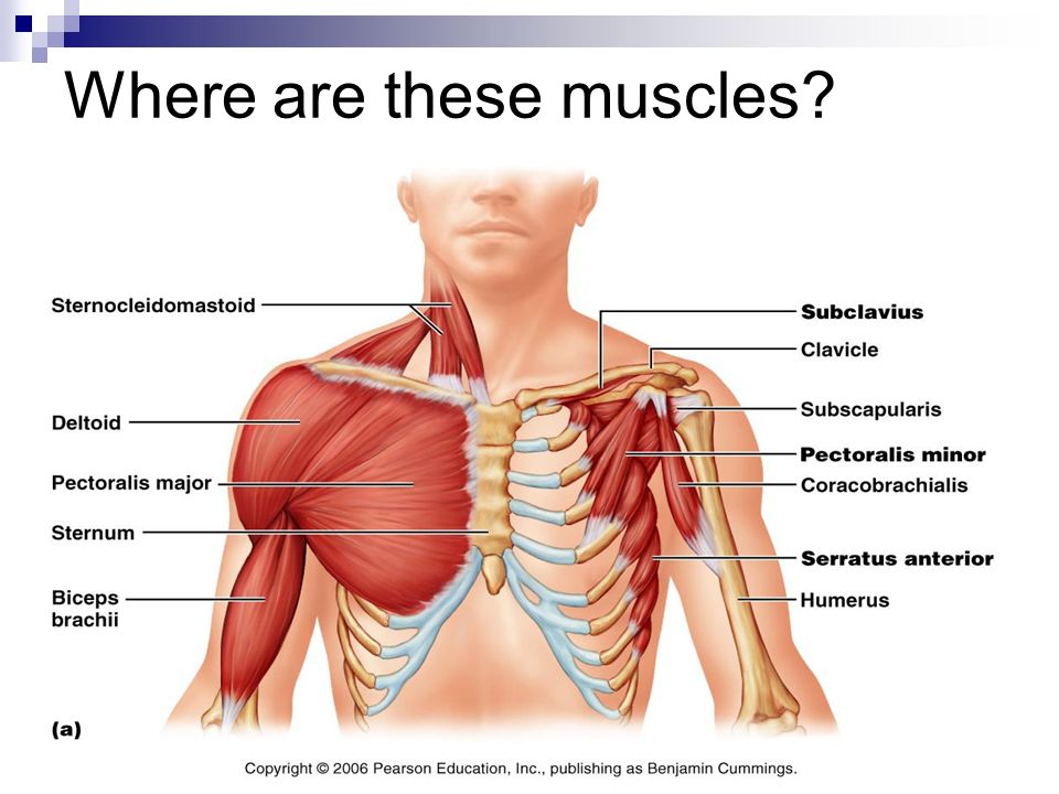 Muscles Action And Location We Will Now Examine The Major Muscles