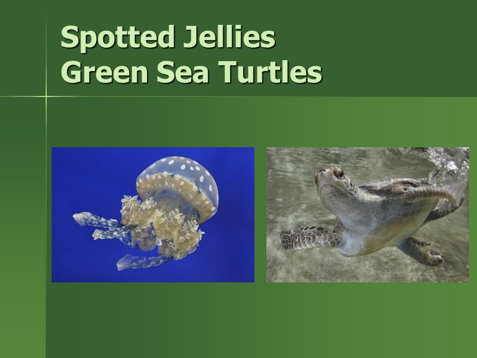 Spotted Jellies Green Sea Turtles