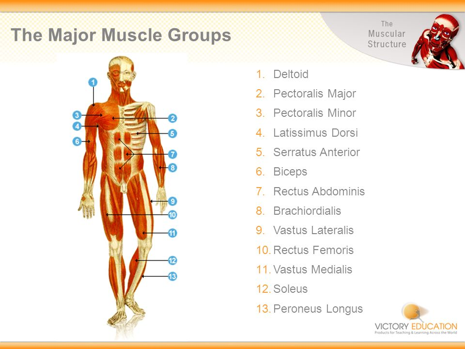 Exploring Sport The Muscular Structure 3 Types Of Muscle In The