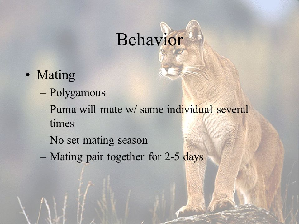 24 Behavior Mating –Polygamous –Puma will mate w  same individual several  times –No set mating season –Mating pair together for 2-5 days f333ca76105f