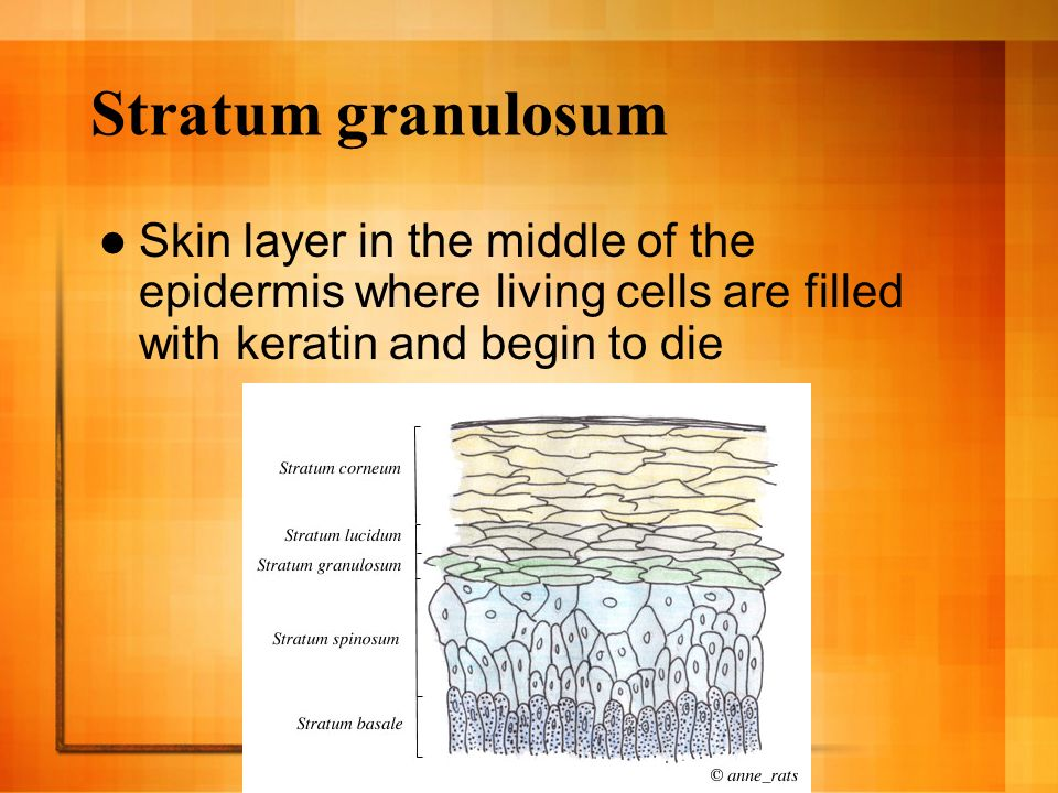 Stratum granulosum Skin layer in the middle of the epidermis where living cells are filled with keratin and begin to die