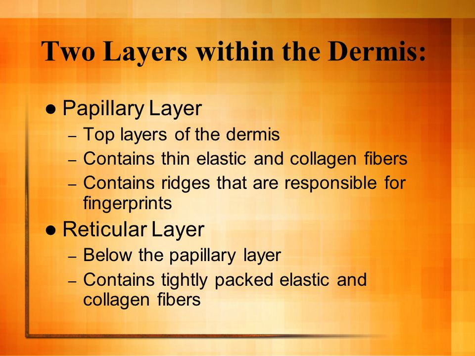 Two Layers within the Dermis: Papillary Layer – Top layers of the dermis – Contains thin elastic and collagen fibers – Contains ridges that are responsible for fingerprints Reticular Layer – Below the papillary layer – Contains tightly packed elastic and collagen fibers