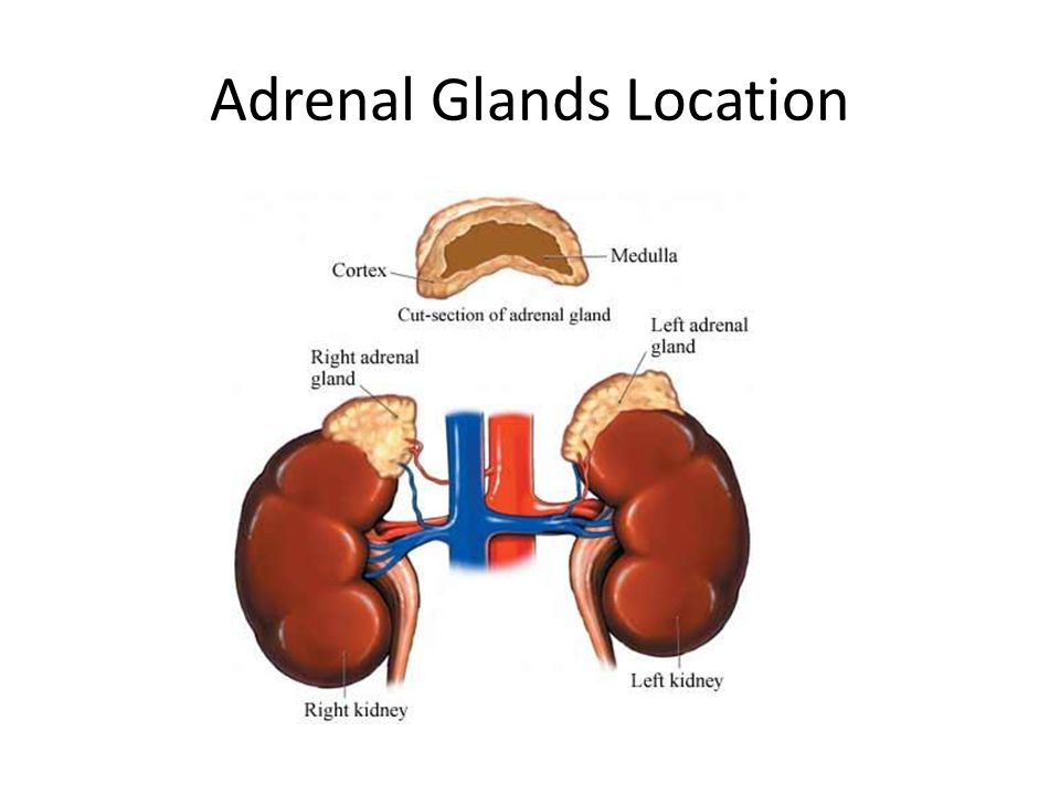 Adrenal Glands Location