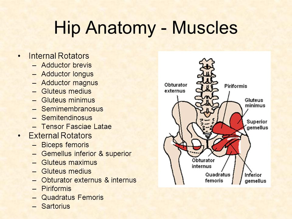 Hip Low Back Hip Anatomy Bones Hip Anatomy Ligaments Ppt