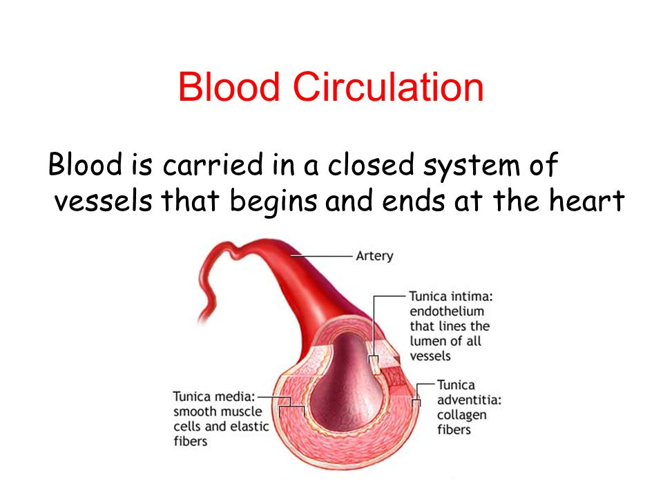 Blood Circulation Blood is carried in a closed system of vessels that begins and ends at the heart