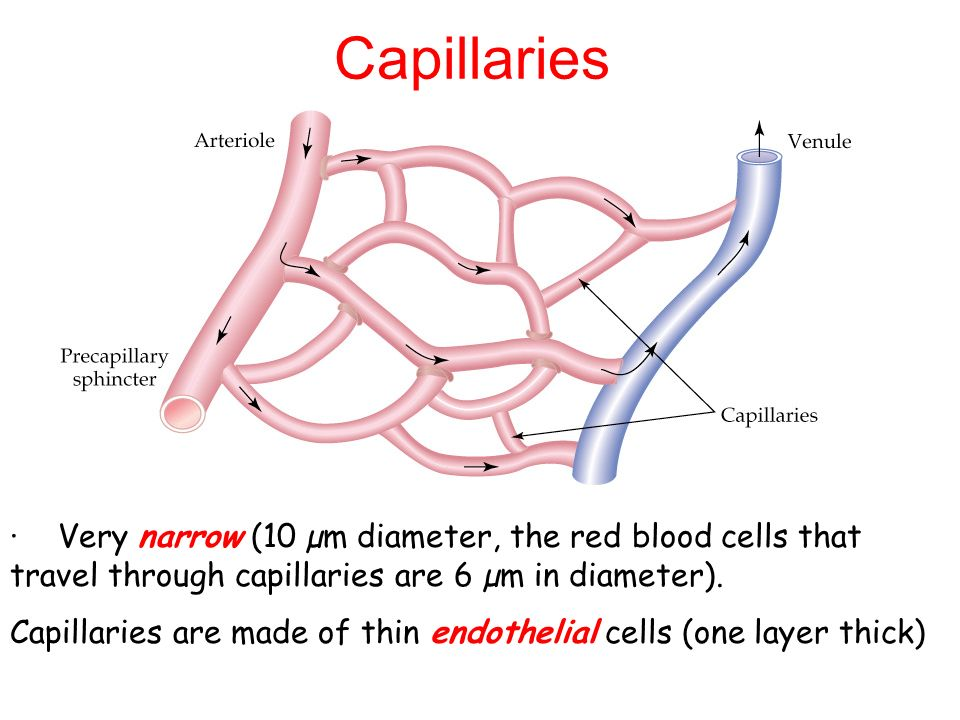 Capillaries · Very narrow (10 µm diameter, the red blood cells that travel through capillaries are 6 µm in diameter).