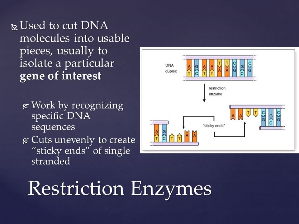 Restriction Enzymes  Used to cut DNA molecules into usable pieces, usually to isolate a particular gene of interest  Work by recognizing specific DNA sequences  Cuts unevenly to create sticky ends of single stranded