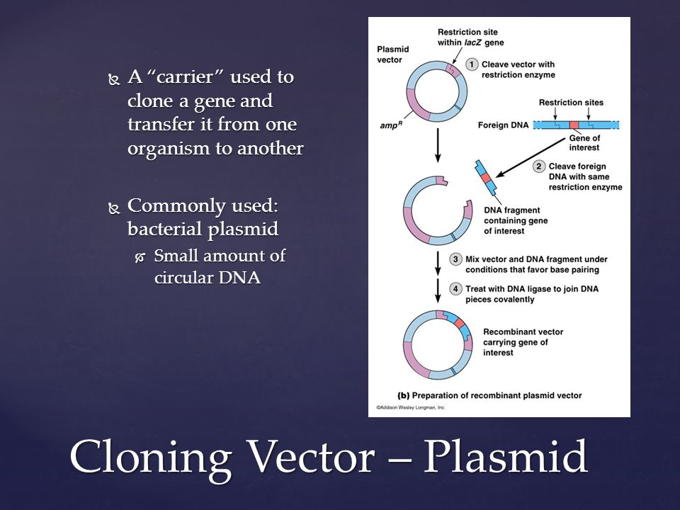 Cloning Vector – Plasmid  A carrier used to clone a gene and transfer it from one organism to another  Commonly used: bacterial plasmid  Small amount of circular DNA