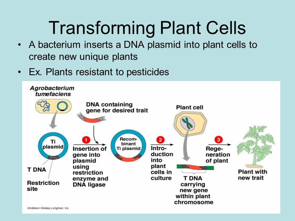 Transforming Plant Cells A bacterium inserts a DNA plasmid into plant cells to create new unique plants Ex.