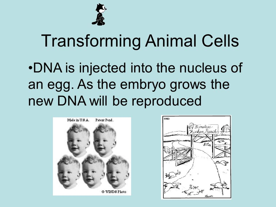 Transforming Animal Cells DNA is injected into the nucleus of an egg.