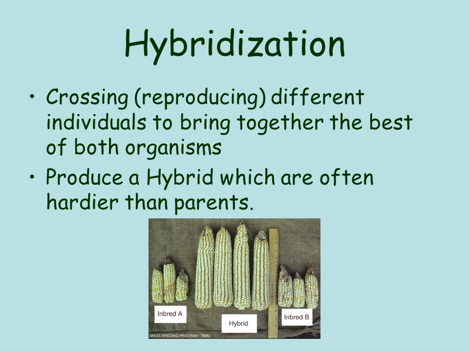 Hybridization Crossing (reproducing) different individuals to bring together the best of both organisms Produce a Hybrid which are often hardier than parents.
