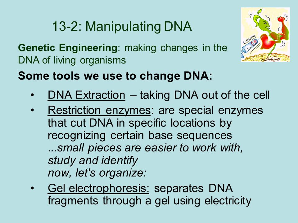 13-2: Manipulating DNA DNA Extraction – taking DNA out of the cell Restriction enzymes: are special enzymes that cut DNA in specific locations by recognizing certain base sequences...small pieces are easier to work with, study and identify now, let s organize: Gel electrophoresis: separates DNA fragments through a gel using electricity Some tools we use to change DNA: Genetic Engineering: making changes in the DNA of living organisms