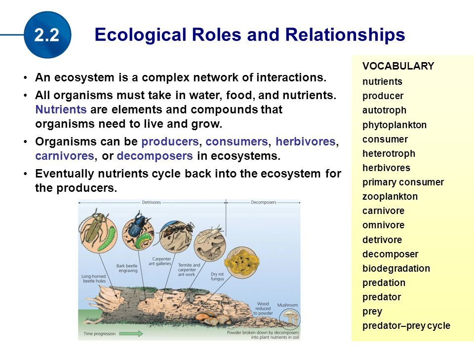 Ecological Roles and Relationships 2.2 VOCABULARY nutrients producer autotroph phytoplankton consumer heterotroph herbivores primary consumer zooplankton carnivore omnivore detrivore decomposer biodegradation predation predator prey predator–prey cycle An ecosystem is a complex network of interactions.