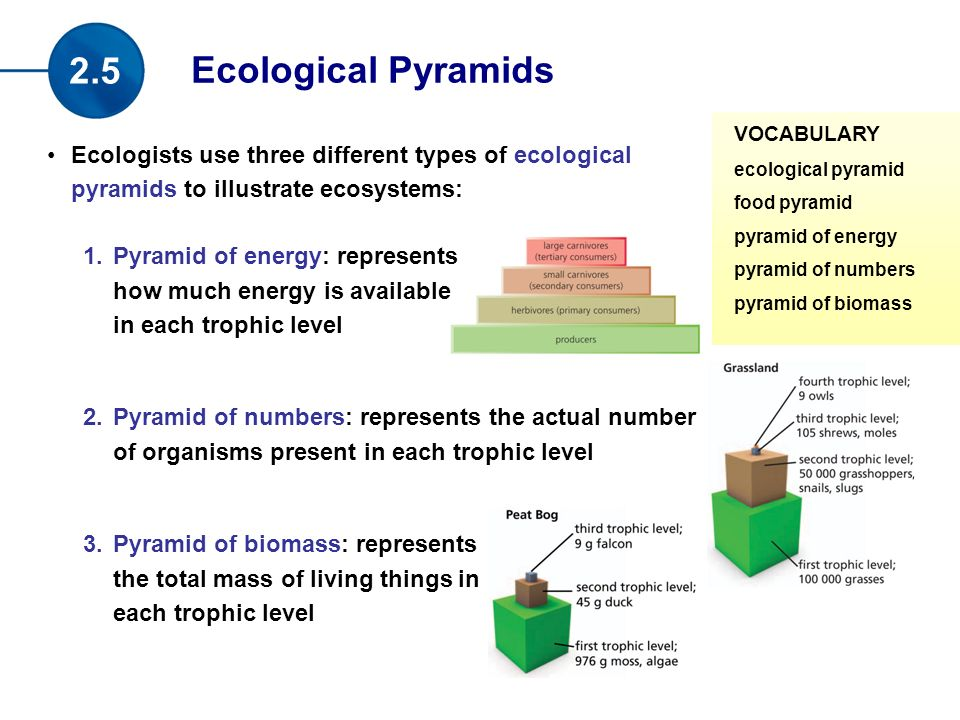 Ecologists use three different types of ecological pyramids to illustrate ecosystems: 1.Pyramid of energy: represents how much energy is available in each trophic level 2.Pyramid of numbers: represents the actual number of organisms present in each trophic level 3.Pyramid of biomass: represents the total mass of living things in each trophic level Ecological Pyramids 2.5 VOCABULARY ecological pyramid food pyramid pyramid of energy pyramid of numbers pyramid of biomass