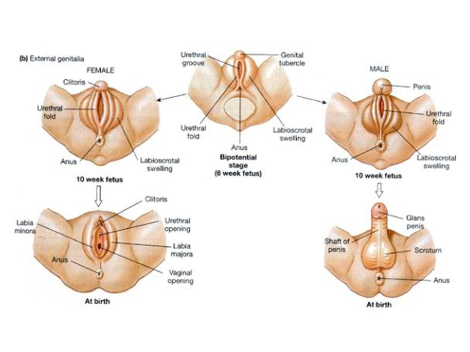 Fancy Born With Male And Female Anatomy Embellishment - Anatomy And ...