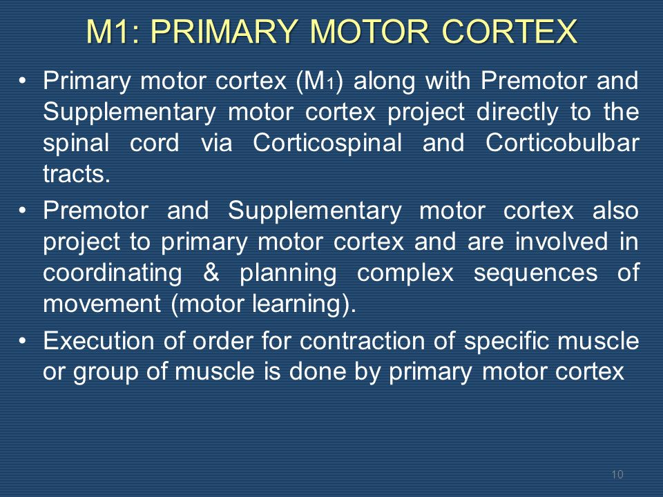 M1: PRIMARY MOTOR CORTEX 10 Primary motor cortex (M 1 ) along with Premotor and Supplementary motor cortex project directly to the spinal cord via Corticospinal and Corticobulbar tracts.