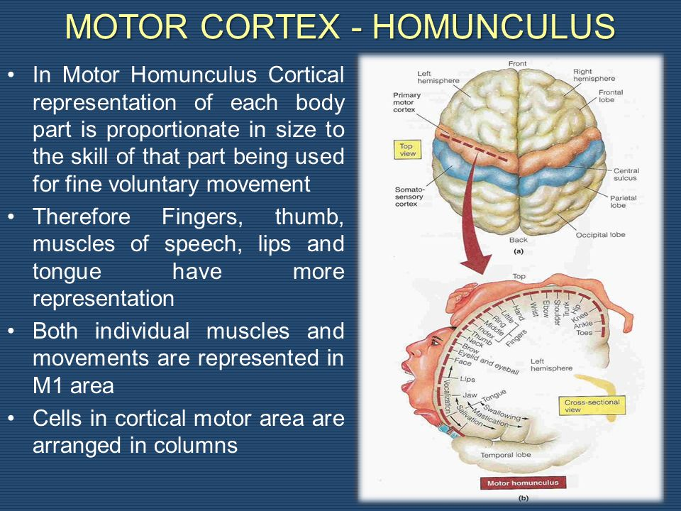 MOTOR CORTEX - HOMUNCULUS In Motor Homunculus Cortical representation of each body part is proportionate in size to the skill of that part being used for fine voluntary movement Therefore Fingers, thumb, muscles of speech, lips and tongue have more representation Both individual muscles and movements are represented in M1 area Cells in cortical motor area are arranged in columns 8